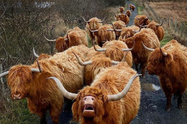 'Three lanes, nose to tail' - hilarious video shows 'rush hour' traffic at highland cow farm