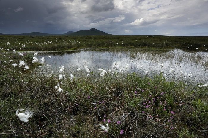 Wind farm can 'restore Flow Country peatland' - The Scotsman