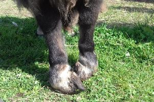 The badly deformed feet of one of the donkeys.