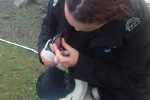 Scottish SPCA animal rescue officer Louise Hume tries to help a swan that had swallowed fishing tackle. Pic: SSPCA
