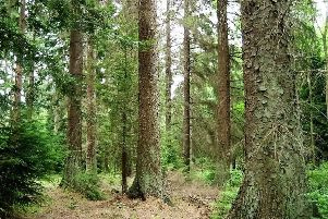 Non-native Sitka Spruce are being planned instead of a broadleaf woodland.