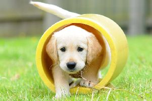 Guide Dogs are fundraising throughout October to fund the cost of training seven puppies, like six-week-old Goldie.