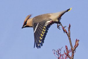 Waxwing � Ron McCombe - the winning photograph from the inaugural Scottish Nature Photographer of the Year in 2010. Wildlife photographer Ron McCombe is on the judging panel this year.