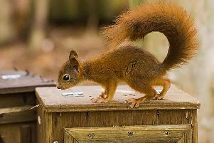A native red squirrel. Picture: Darren Williams/Pensthorpe/PA Wire