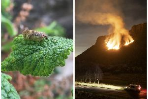 A rare moth is under threat because of the recent gorse fire.