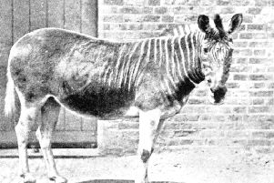 A million species around the world face the same fate as this quagga, a type of zebra from South Africa, which became extinct in the late 1800s