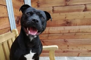 Meet Max, the two-year-old Staffordshire Bull Terrier currently living at Edinburgh Dog and Cat Home, who is hoping to find his forever family.