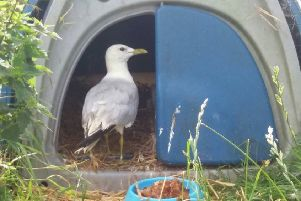 A common gull named Rurie is 21-years old