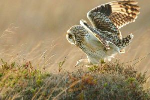 Short-eared owl pouncing on a small rodent - Copyright Ron Macdonald