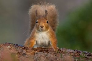 The public is being asked to look out for squirrels ' both red and grey ' for the Great Scottish Squirrel Survey. (Photo: Raymond Leinster)