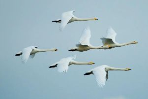 The Bailies of Bennachie Wildlife group will hear about Wild Geese and Swans in Scotland