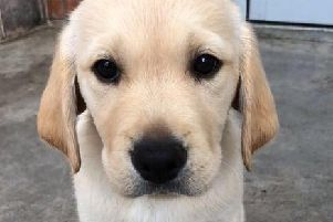 A Guide Dog puppy.