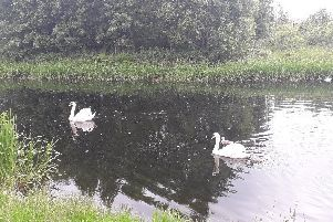 The swans after they were released into the canal.