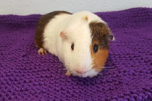 George the Guinea pig survived despite being abandoned in woodland in Bainsford. Picture: SSPCA