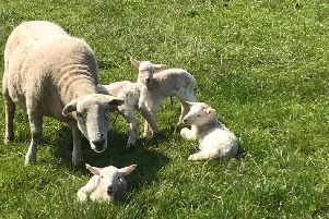 The sheep which was savaged at Ardross Farm and had to be put down because of her injuries. Pictured with the quads which she had given birth to just days before the attack. (Picture: Ardross Farm)