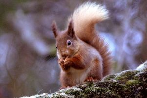 Work continues to save the red squirrel