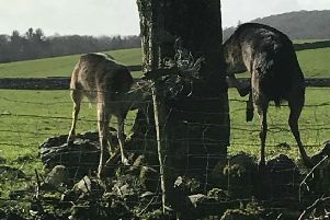 Deer trapped in wire in Wigtownshire