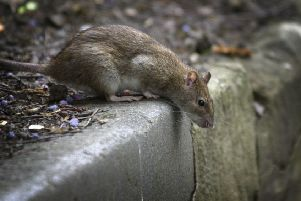 Problems with rats are affecting many streets in the Southside.