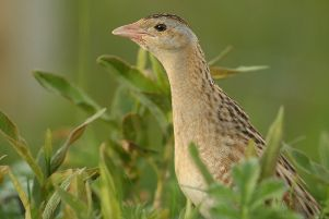 The elusive shy corncrake.