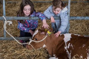 Easter Cadder Farm - Open Farm Day. Picture Shows, Hannah Carr,7, from Bishopbriggs and Ava McAlistair,3 from Airdrie stroke a Calf in the Livestock Shed during the Open Farm day , Sunday 11, June 2017. ''�Stuart Nicol Photography, 2017