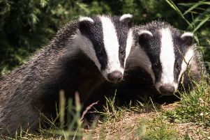 Badgers are, according to experts at The Badger Trust, excellent climbers.
