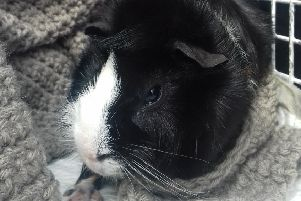 One of two guinea pigs abandoned in Thornliebank. Sadly the other one died. (Photo: Scottish SPCA)
