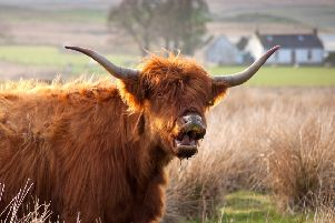 A Highland Cow who seemed to be extremely surprised to be caught on camera. Pic: SWNS