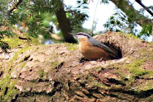 Plate 1: A nuthatch at its nest hole