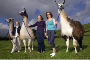 The new team-building experience, run by a Perthshire glamping firm, is thought to be the first in the world to use llamas for a skills course. Picture: Christopher Jones/REX