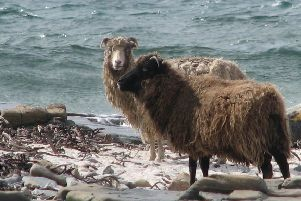 North Ronaldsay sheep. Picture: Wikimedia