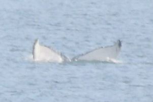 Humpback whales spotted in the Forth this week. Picture: Forth Marine Mammals
