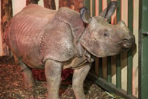 A rhino was craned into his new home at the Royal Zoological Society of Scotland's Edinburgh Zoo following a one thousand mile journey from Germany.