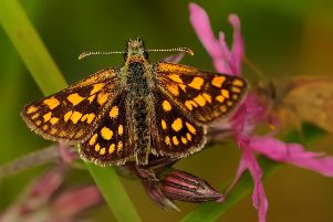 A carterocephalus palaemon - a rare type of butterfly found in Scotland
