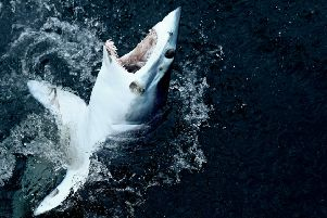 A shortfin mako shark is caught in a fishing competition in the North Atlantic (Picture: Maddie Meyer/Getty Images)