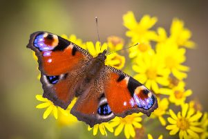 Butterflies are among species that are now flying much earlier than 50 years ago. Picture: Getty