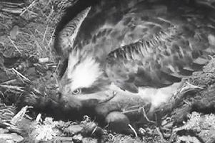 The first sighting in 2019 of an osprey egg at at the Scottish Wildlife Trust's Loch of the Lowes Wildlife Reserve in Perthshire. Picture: PA