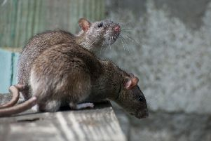 Steven Haig and partner Hazel faced a horror invasion of rats at their Glasgow East End home. Picture: Shutterstock