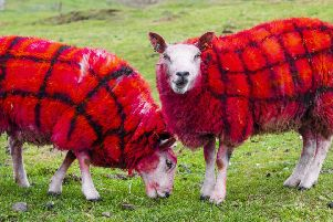 Bright red tartan sheep loving their new coats at Auchingarrich Wildlife Centre, Perthshire. Picture: SWNS