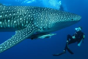 Diving with whale sharks at Mirihi Island in the Maldives