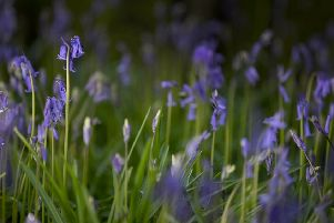 Bluebells are beautiful and we must not destroy them (Picture: Getty)