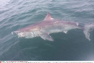 A porbeagle, similar to the one pictured, was caught accidentally in the Forth and released unharmed. Photo: Jerry Rogers/REX/Shutterstock
