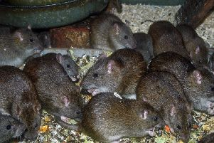 There have been more than 14,000 callouts relating to rats in Glasgow since 2016 (Photo: Shutterstock)
