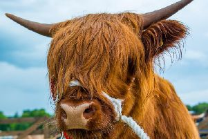 Highland cows are just one of the many animals you'll see at the Royal Highland Show (Photo: Shutterstock)