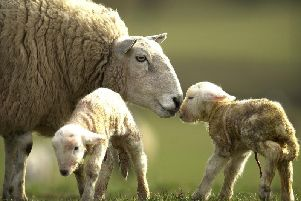 Sheep rustling is on the increase in Scotland.