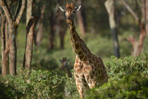 "A Rothschild subspecies giraffe stands in its habitat at Nairobi's giraffe conservation centre ""The Giraffe Centre"" on December 21, 2016.  Long term research into giraffes that only started in 2003 in Namibia revealed that giraffes have silently being going extinct, with numbers plummeting by 40 percent in the last three decades to about 97,500, the International Union for the Conservation of Nature (IUCN) reported this month. One of the sub-species is the Nubian giraffe whose populations in Ethiopia and South Sudan are estimated to have dropped from over 20,000 to just 650.  / AFP / TONY KARUMBA        (Photo credit should read TONY KARUMBA/AFP/Getty Images)"