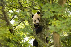 The giant panda climbs a tree. Pic: Royal Zoological Society of Scotland.