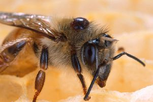 A hive of bees is to be destroyed after it caught a disease which can quickly spread and kill off larva.