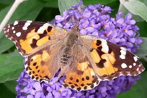 This summer's weather and food sources have provided ideal conditions for the painted lady to thrive. Picture: contributed