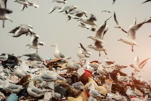 Seagulls scavenging on landfill. New recycling laws on glass bottles owe much to the campaign of two Cumbernauld schoolgirls