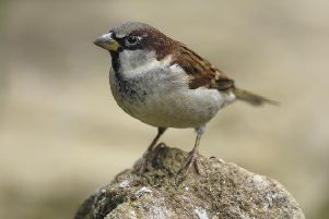 Formerly common birds such as the house sparrow are much more seldom seen in our gardens than before